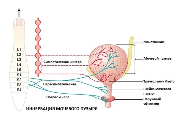 иннервация мочевого пузыря
